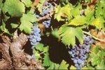 plavac mali grape