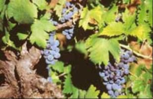 plavac mali grape